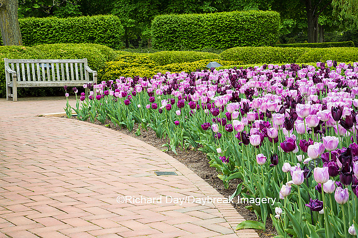 63821-22713 Garden path with pink and purple tulip border and bench, Chicago Botanic Garden, Glencoe, IL