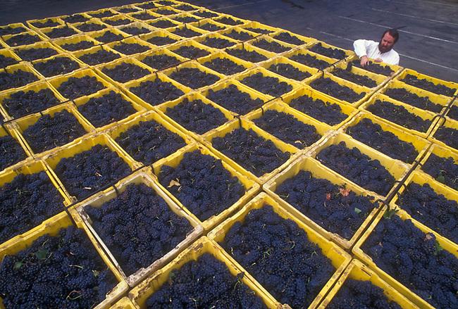 Grapes arrive at Mumm Napa.