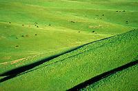 Cattle graze prairie below White Butte in Grand River National Grassland, near Lemmon, South Dakota, AGPix_0327.