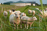 GERMANY sheeps and Biogas plant at Pellworm Northsea island / DEUTSCHLAND , <br /> Envitec Biogasanlage mit Blockheizkraftwerk BHKW der Firma GE Jenbacher zur Stromerzeugung und Waermeerzeugung auf Nordseeinsel Pellworm , Vergaerung von Mais und Rinderguelle