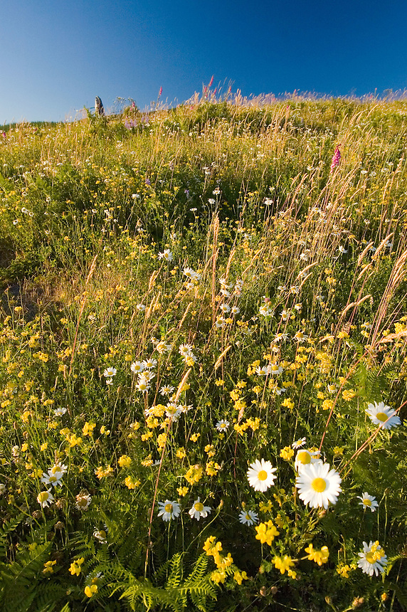 Oxeye Daisy (Leucanthemum vulgare or Chrysanthemum leucanthemum) and Birdsfoot Trefoil (Lotus corniculatus). Mt. St. Helens National Volcanic Monument, Washington, US