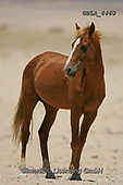 Bob, ANIMALS, REALISTISCHE TIERE, ANIMALES REALISTICOS, horses, photos+++++,GBLA4460,#a#, EVERYDAY