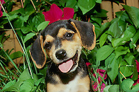 Beagle puppy with head cocked and tongue out looks very silly