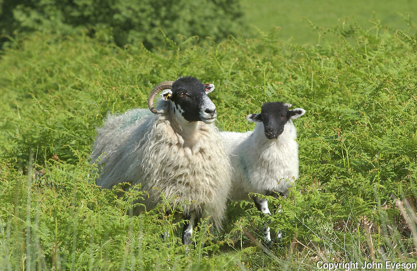 Scottish Blackface ewe and lamb in bracken, Yorkshire.