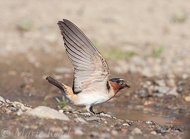 Cliff Swallow (Petrochelidon pyrrhonota) gathering mud in its bill for nesting material, Mono Lake Basin, California, USA