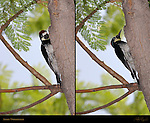 Acorn Woodpecker on Live Oak Southern California Composite Image