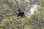 A Rhinoceros Hornbill is seen from the canopy walk at the Borneo Rainforest Lodge on Sunday April 28th 2013 in Malaysia. (Photo by Brian Garfinkel)