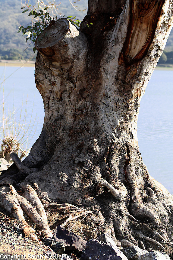 The tangled, gnarled roots and trunk of a eucalyptus tree growing next to Lake Mendocino near Ukiah in Mendocino County in Northern California.