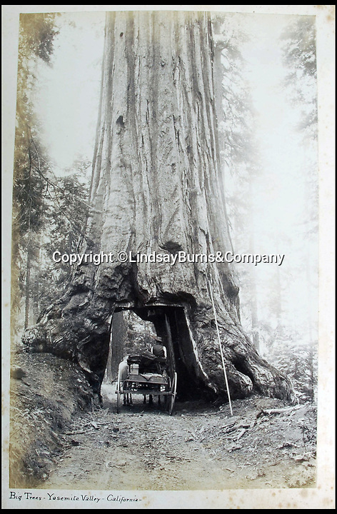 BNPS.co.uk (01202 558833)<br /> Pic: LindsayBurns&Company/BNPS<br /> <br /> 'Big Tree's in Yosemite'<br /> <br /> Victorian gap year album captures scottish farmhands exotic world tour looking for work..<br /> <br /> A stunning photo album collated by a Scottish farmhand documenting his world tour has been unearthed after 130 years.<br /> <br /> The agricultural worker arrived in Tasmania in November 1886 but was only there for a few days before he carried on to New Zealand where he spent several months working on the land.<br /> <br /> The following April, he left New Zealand and headed to the United States, briefly stopping off in Honolulu, Hawaii.<br /> <br /> His first stop in the United States was San Francisco where he photographed the Golden Gate before the landscape was dominated by the Golden Gate Bridge.<br /> <br /> His gap year of sorts then took him up through Colorado and Salt Lake City to Canada before he finished in New York.