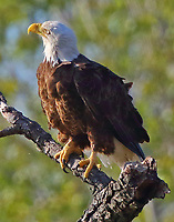 Bald eagle adult perched near mate