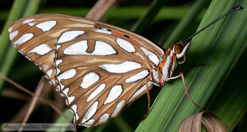 A gulf fritillary [Agraulis vanillae incarnata] rests on a blade of lemongrass [Cymbopogon sp.].  The bright orange of its forewing is just barfly visible; it's fun to watch the butterfly decide whether to expose the bright colors or not.  The whitish spots on the bottom of its wings are reflecting silverfish light in this image.