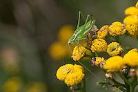 Gestreifte Zartschrecke, Weißfleckige Zartschrecke, Gebänderte Zartschrecke, Weibchen mit Spermatophore, frisst an Rainfarn, Leptophyes albovittata, Striped Bush-cricket, Striped Bushcricket, Striped Bush cricket, Lesser Speckled Bush-cricket, female, Sichelschrecken, Phaneropteridae