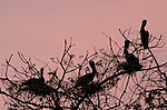Brown Pelicans (Pelecanus occidentalis carolinensis) resting in tree branches at dusk. Pacheca Island, Las Perlas Archipelago, Panama, Central America.