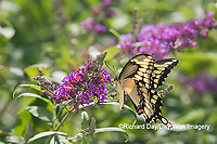 03017-01506 Giant Swallowtail (Papilio cresphontes) on Butterfly Bush (Buddleja davidii) Marion Co. IL