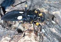 0403-1102  White-eyed Assassin Bug, African Assassin Bug, Platymeris biguttatus  © David Kuhn/Dwight Kuhn Photography