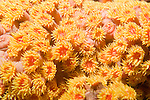 Anilao, Philippines; yellow Sun Coral (Tubastraea faulkneri) or Sun Polyps, are a cup coral in the family Dendrophylliidae