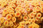 Anilao, Philippines; yellow Sun Coral (Tubastraea faulkneri) or Sun Polyps, are a cup coral in the family Dendrophylliidae