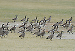 canada geese in Page, AZ