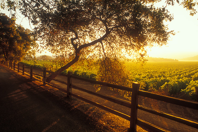 Sunrise lights a vineyard near Oakville, California