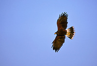 Harris's Hawk - Parabuteo unicinctus - adult