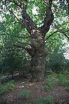 Ancient primeval oak trees Staverton forest, Suffolk, England