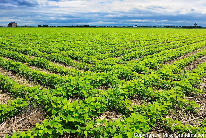 Field of Soybeans <br /> Pike River<br /> Quebec<br /> Canada