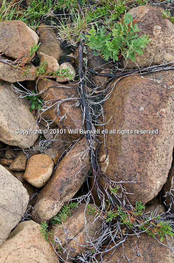 Common Juniper roots growing over rocks