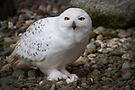 Mouse catch, Snowy owl