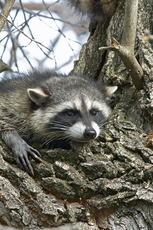 Raccoon in cottonwood tree.  Lower Klamath Lake National Wildlife Refuge, California
