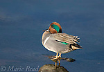 Green-winged Teal (Anas crecca), male in breeding plumage, Upper Newport Bay, California, USA