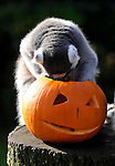 ZSL Whipsnade Zoo's animals are tucking into Halloween-inspired treats this week as they join in with the spooky festivities..... Billy the ring-tailed lemur and friends are being served up a breakfast of pumpkins stuffed with their favourite tread of sultanas,