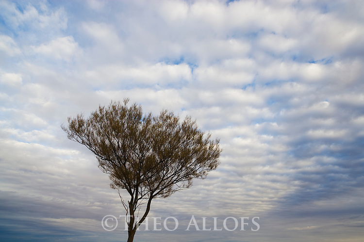 Australia, South Australia, Outback; tree silhouetted against cloudy sky