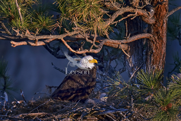 Bald Eagle Nest (Haliaeetus leucocephalus)--adult with two week old eaglet in nest in tall ponderosa pine tree.  Oregon.  April.  First five minutes of morning sun.