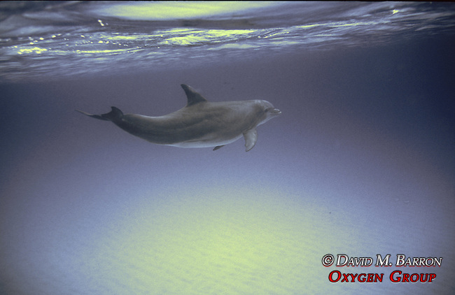 Bottlenosed Dolphin