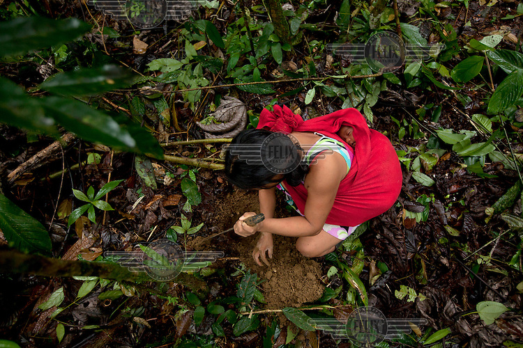 A Waorani (Huaroni) woman, carrying a baby in a sling on her back, crouches down to dig a hole in order to plant plantain palm sapplings.