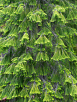 New spring growth on Douglas Fir tree. Rogue River National Forest, Oregon