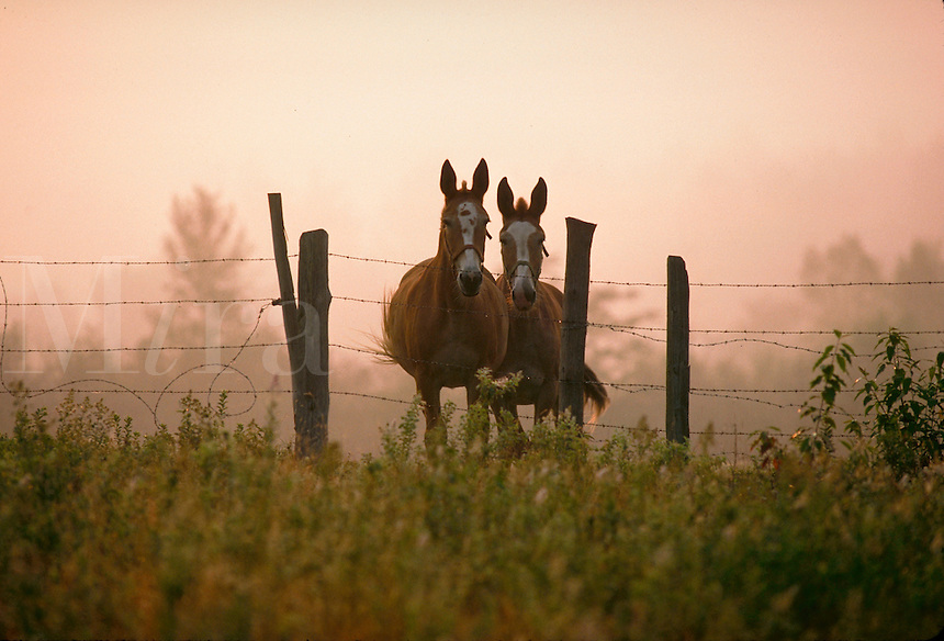 Two horses peer over a fence in a misty meadow.