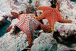 Beagle Rock, Galapagos, Ecuador; two Panamic Cushion Star (Pentaceraster cumingi) sea stars or star fish, sit close to one another on the rocky reef , Copyright © Matthew Meier, matthewmeierphoto.com All Rights Reserved
