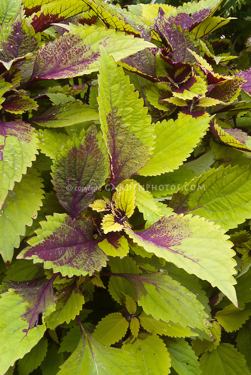 Solenostemon (Coleus) 'Pineapple Beauty' annual foliage plant in yellow green and magenta purple colors leaves