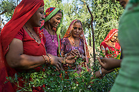 A group of women who are a part of Technoserve's kitchen garden program tend to chilli plants in a kitchen garden in Bamanwali village, Bikaner, Rajasthan, India on October 24th, 2016. Non-profit organisation Technoserve works with guar farmer's wives in Bikaner, providing technical support and training for edible gardening, to improve the nutritional quality of their food and relieve financial stress on farming communities. Photograph by Suzanne Lee