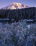 Mt. Rainier National Park, WA  <br /> Ice encrusted shrubs on the edge of Reflection Lake with the summit of Mount Rainier in dawn light