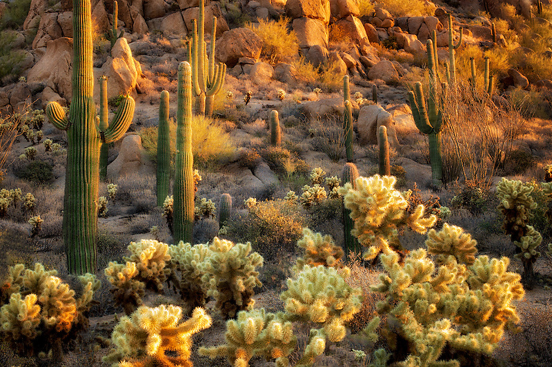 Saguaro and Cholla cactus. Sonoran Desert, Arizona