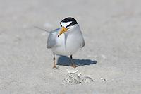 Least Tern (Sternula antillarum) guarding its nest of three eggs, Nickerson Beach, Lido Beach, New York