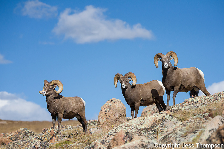 Bighorn Sheep, Rocky Mountain National Park