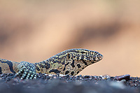 Nile Monitor (Varanus Nilotictus)...In a riverbed...Mashatu Game Reserve..Tuli block, Botswana..November 2010.