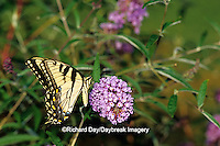 03023-01509 Eastern Tiger Swallowtail (Papilio glaucus) on Butterfly Bush (Buddleia davidii) Marion Co.  IL
