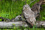 Great gray owl adult with fledgling. Grand Teton National Park, Wyoming.