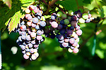 Bunches of rondo red grapes on vines, Shawsgate vineyard, Suffolk, England