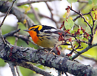 Male blackburnian warbler in breeding plumage