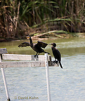 0827-0903  Pair of Double-crested Cormorants Resting on Platform over Marsh, Phalacrocorax auritus © David Kuhn/Dwight Kuhn Photography